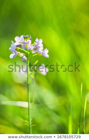 Koekoek bloem afbeelding macro natuur tuin Stockfoto © Kirschner