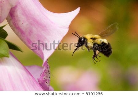 méh · virág · természet · nyár · kék · rovar - stock fotó © sarahdoow