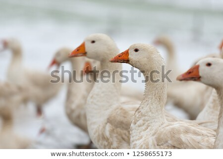 Winter Geese Stock photo © suerob