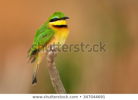 Little Bee-Eater (Merops pusillus) Stock photo © davemontreuil