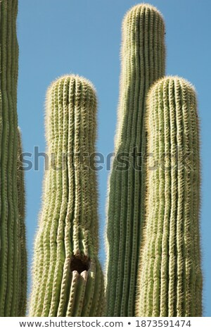 Massive Saguaro cactus plant in the Arizona desert Stock photo © epstock