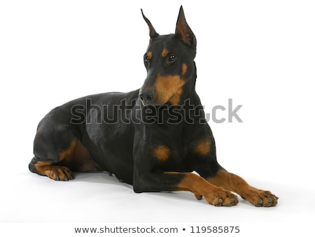 Studio shot of doberman pinscher Stock photo © bigandt