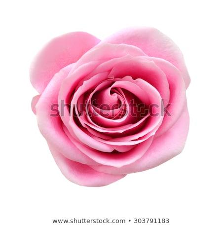 Stock fotó: Mély · rózsaszín · rózsa · absztrakt · makró · virágzik · virág