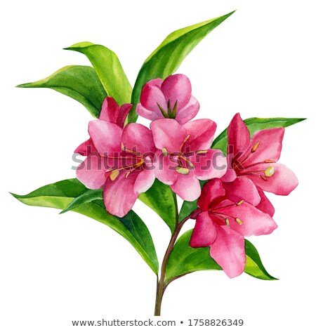 weigel beautiful pink flowers stock photo © peredniankina