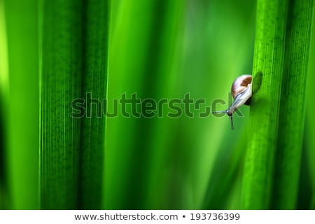 snail on a green leaf stock photo © bbbar