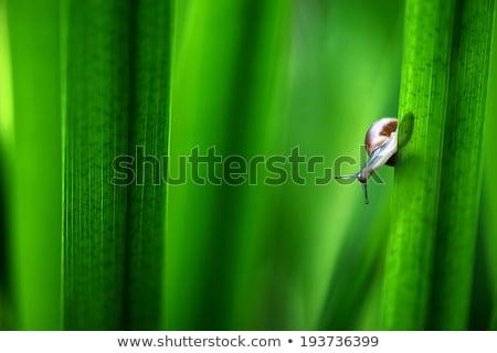 slak · groene · stengel · tuin · kruipen · plant - stockfoto © bbbar
