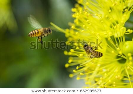 Honeybee Collecting Pollen Stock photo © manfredxy