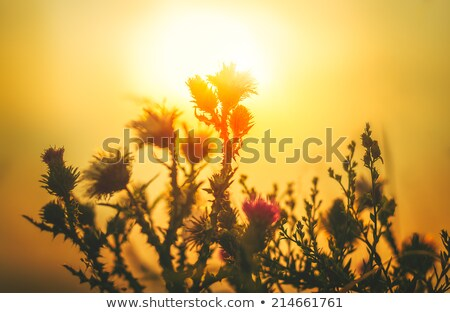 Zon bloem zonsondergang atmosfeer oranje natuur Stockfoto © Kayco