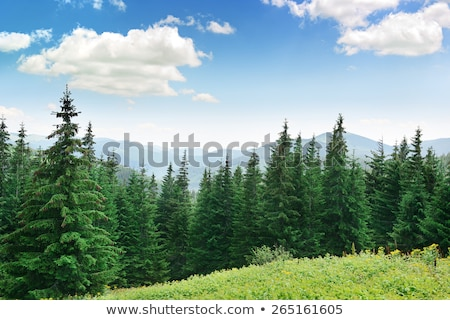 çam üst gökyüzü doğa manzara ağaçlar Stok fotoğraf © njaj