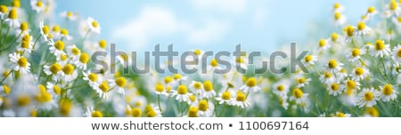 field of camomiles stock photo © master1305