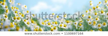 Stok fotoğraf: Alan · çayır · bahar · beyaz · papatyalar