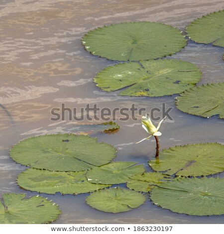 víz · liliom · park · Dél-Afrika · természet · levél - stock fotó © simoneeman