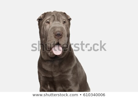Shar pei portrait  in the white studio stock photo © vauvau