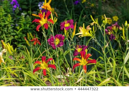 daylily of the species Red Ribbons Stock photo © LianeM