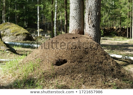 Big anthill in forest Stock photo © Epitavi