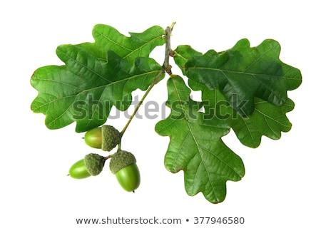 Oak tree leaf isolated on white background Stock photo © haraldmuc
