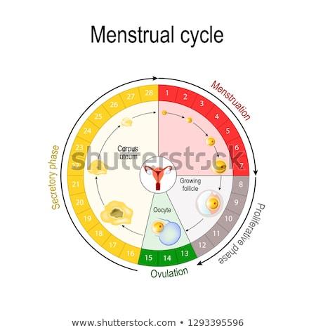 Bicikli termékenység diagram kép nő nők Stock fotó © cteconsulting
