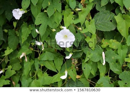 Bindweed (Convolvulus arvensis) Stock photo © chris2766
