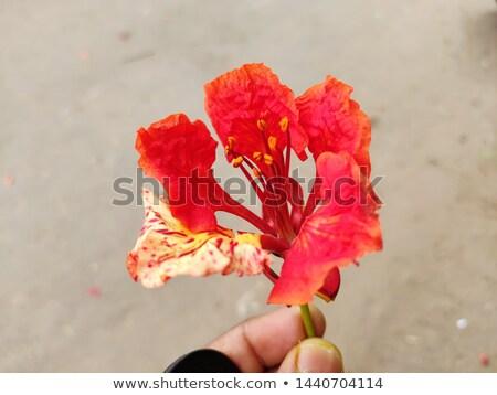 букет роз белый огромный красный красные цветы Сток-фото © popaukropa