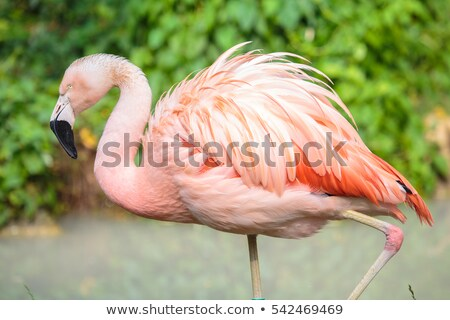 Head and neck of Chilean Flamingo (Phoenicopterus chilensis). Stock photo © yhelfman