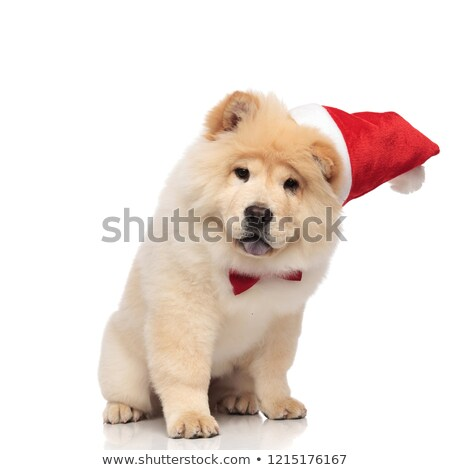 curious santa chow chow with bowtie sits and looks down Stock photo © feedough