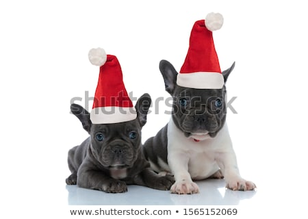cute french bulldog with santa cap resting and looking to side Stock photo © feedough