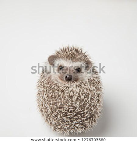 adorable rodent with spikes lies on back Stock photo © feedough