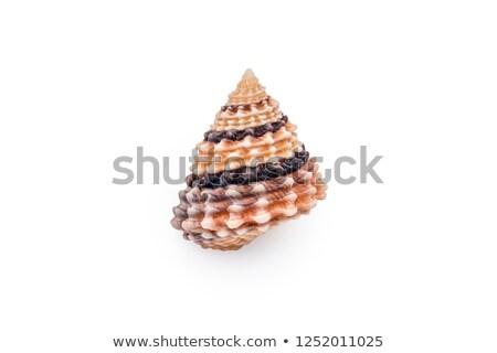 Prickly seashell isolated on white Stock photo © Lana_M