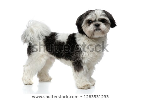 side view of furry black and white shih tzu standing Stock photo © feedough