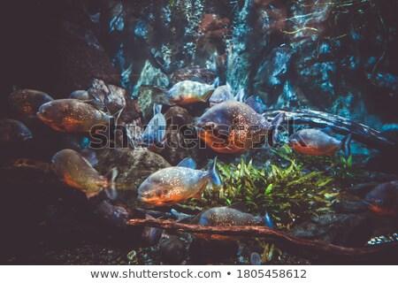 Vermelho piranha água peixe subaquático tropical Foto stock © boggy