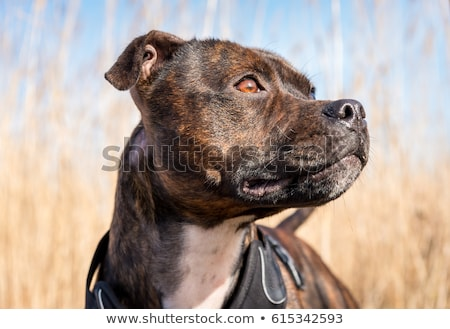 Cute English Staffordshire Terrier pup on white Stock photo © CatchyImages