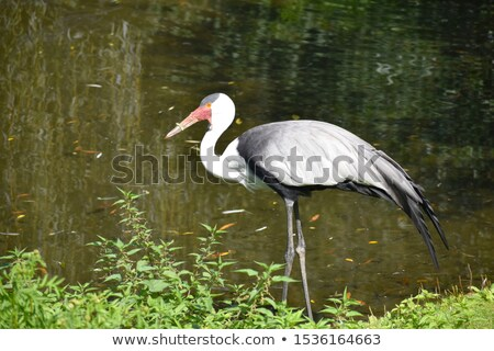Wattled crane standing in the grass. Stock photo © simoneeman
