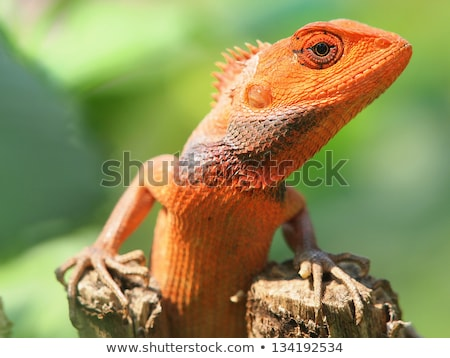 Oranje hagedis vergadering boom natuurlijke leefgebied Stockfoto © galitskaya