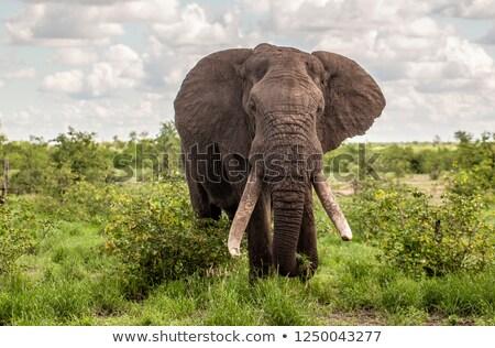 Large African elephant bull stock photo © hedrus