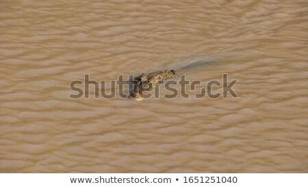 Krokodil zöld sáros víz felső úszás Stock fotó © nuttakit
