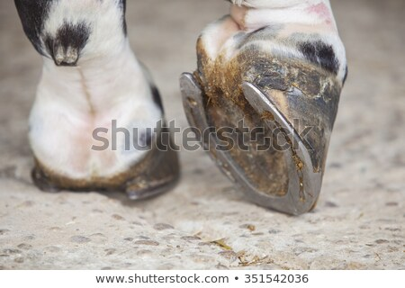 Closeup of the hoof of a horse Stock photo © jaykayl