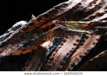 Gedetailleerd macro foto blad web aderen Stockfoto © mnsanthoshkumar