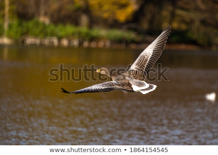 greylag goose family stock photo © mobi68