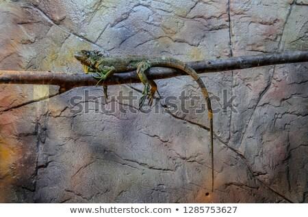 Iguana árvore posando animal masculino Foto stock © Jasminko