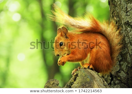 head of a red squirrel stock photo © rhamm