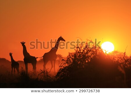 Giraffe - Wild and Free from Africa - Color of Background stock photo © Livingwild