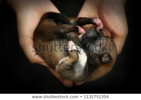 szczeniak · angielski · bulldog · dziewczyna · ręce - zdjęcia stock © willeecole