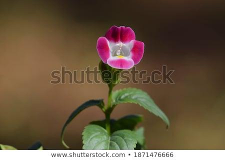 citromsárga · trombita · vad · virágok · Afrika · virágzó · vadvirág - stock fotó © Livingwild