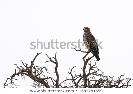 Tawny Eagle - Wild Bird and Raptor background from Africa. Stock photo © Livingwild