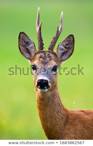 roe deers in big grass stock photo © taviphoto