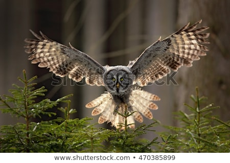 Grijs uil vogel buit hart ontwerp Stockfoto © shawlinmohd