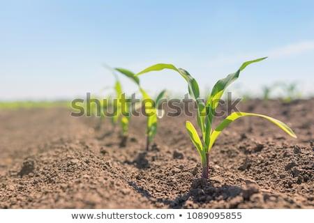 Foto stock: Orgânico · milho · plântula · seis · dia · velho