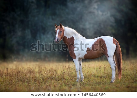 Pinto horse  Stock photo © ottoduplessis