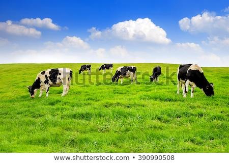 tehén · zöld · testtartás · olasz · égbolt · fű - stock fotó © tarczas