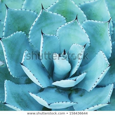 Nedvdús növény közelkép levél kaktusz Stock fotó © AlessandroZocc